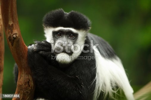 Black and white colobus