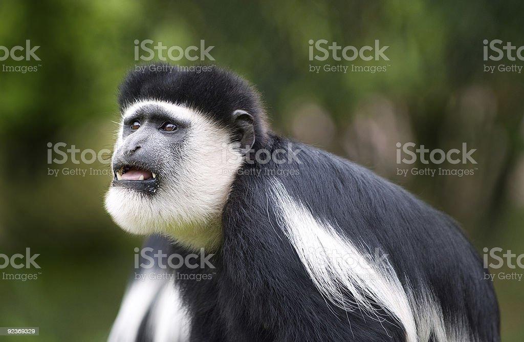 Colobus Monkey royalty-free stock photo