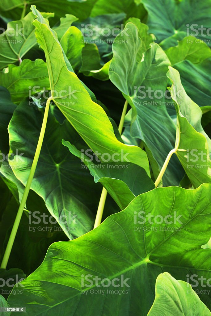 Colocasio Elephant Ear Plant Leaf stock photo