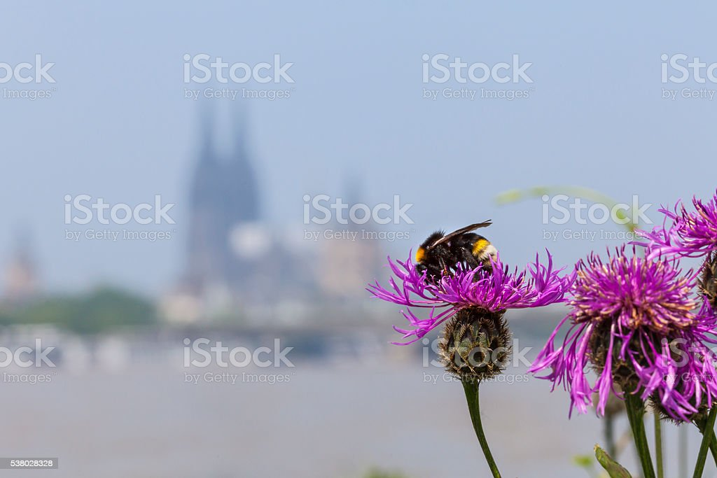 Cologne Cathedral, Germany in summertime A bee on a blossoming pink flower in front of the Cologne Cathedral Architecture Stock Photo