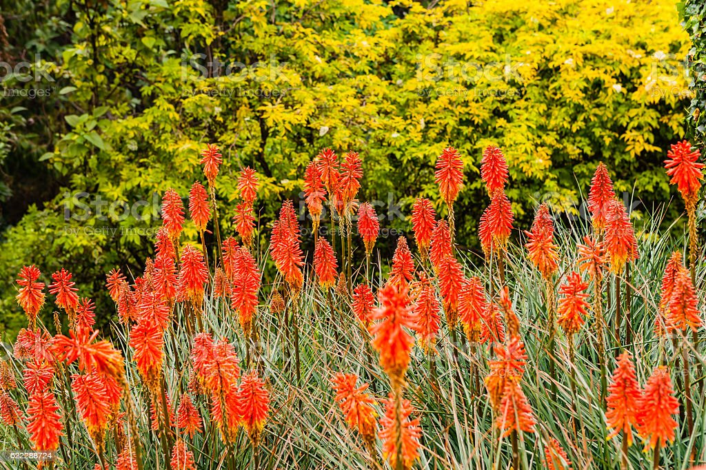 Colombia - Red Hot Poker on the Andes Mountains stock photo