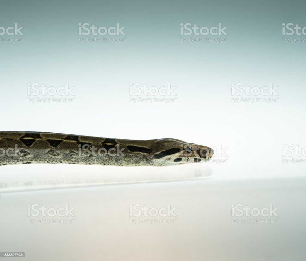 Colombian Boa. Tropical brown constrictor.  Snake skin with yellow and black spots on a white background stock photo