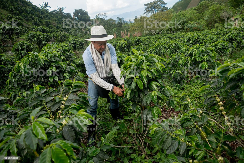 Colombian man working at a coffee farm stock photo