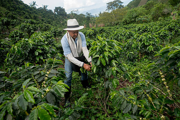 colombian man working at a coffee farm - colombia land stockfoto's en -beelden