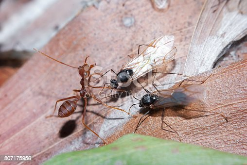 Ants are eusocial insects of the family Formicidae and, along with the related wasps and bees, belong to the order Hymenoptera.