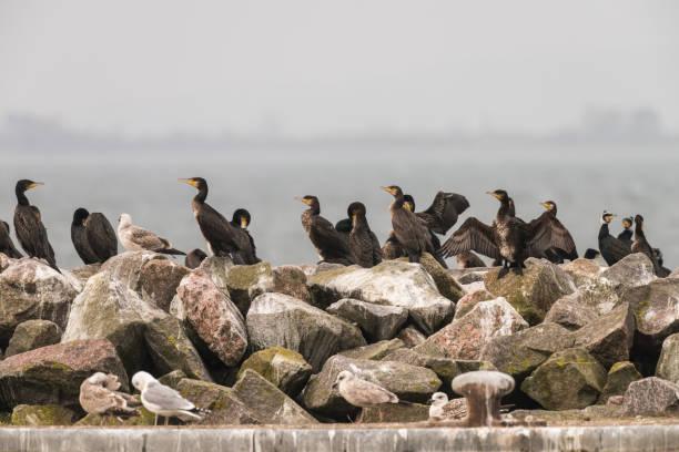 Kolonie Kormorane mit Möwen auf einem Steinmull – Foto