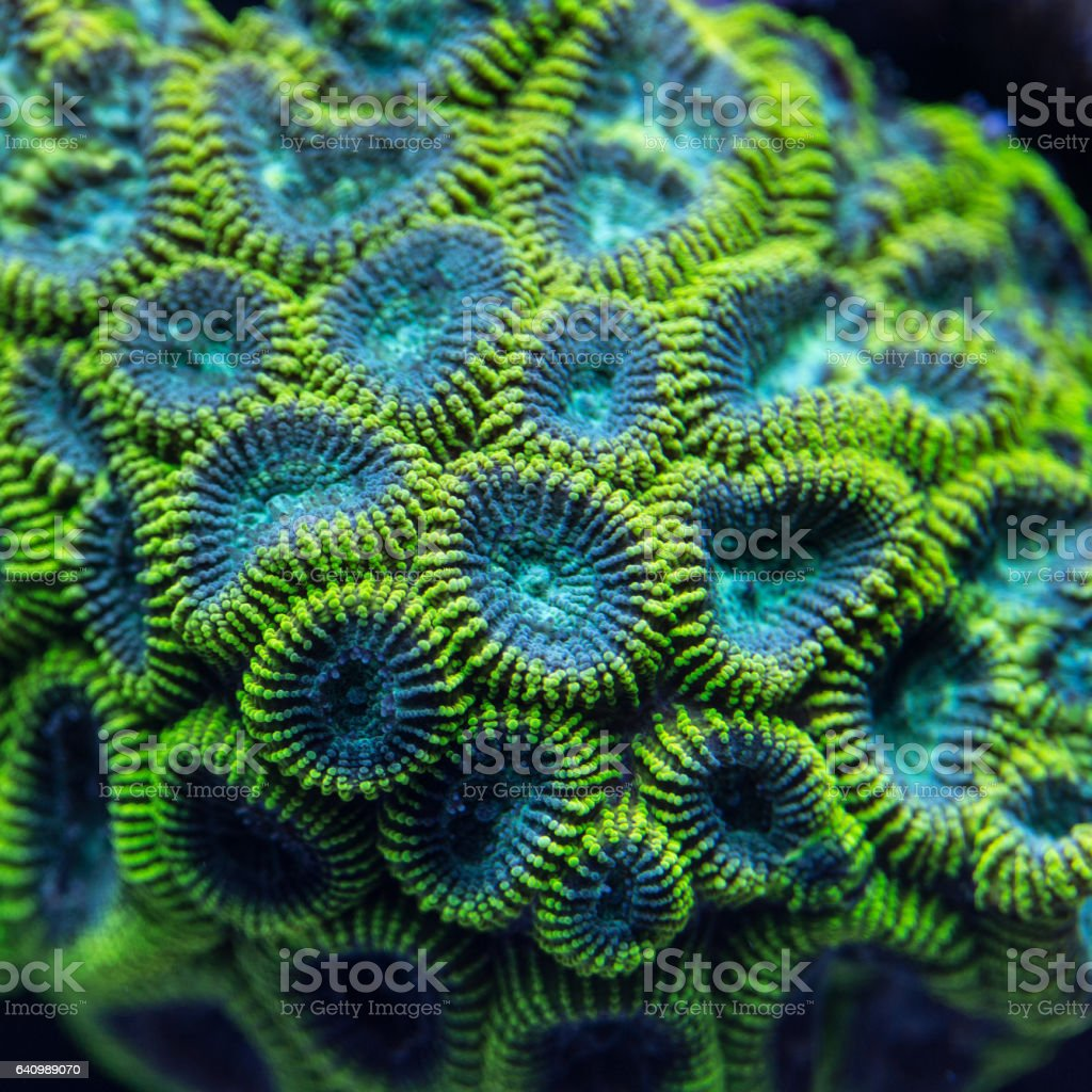 Colony of a green Favia coral. stock photo