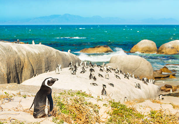 Colony of african penguins on rocky beach in South Africa stock photo