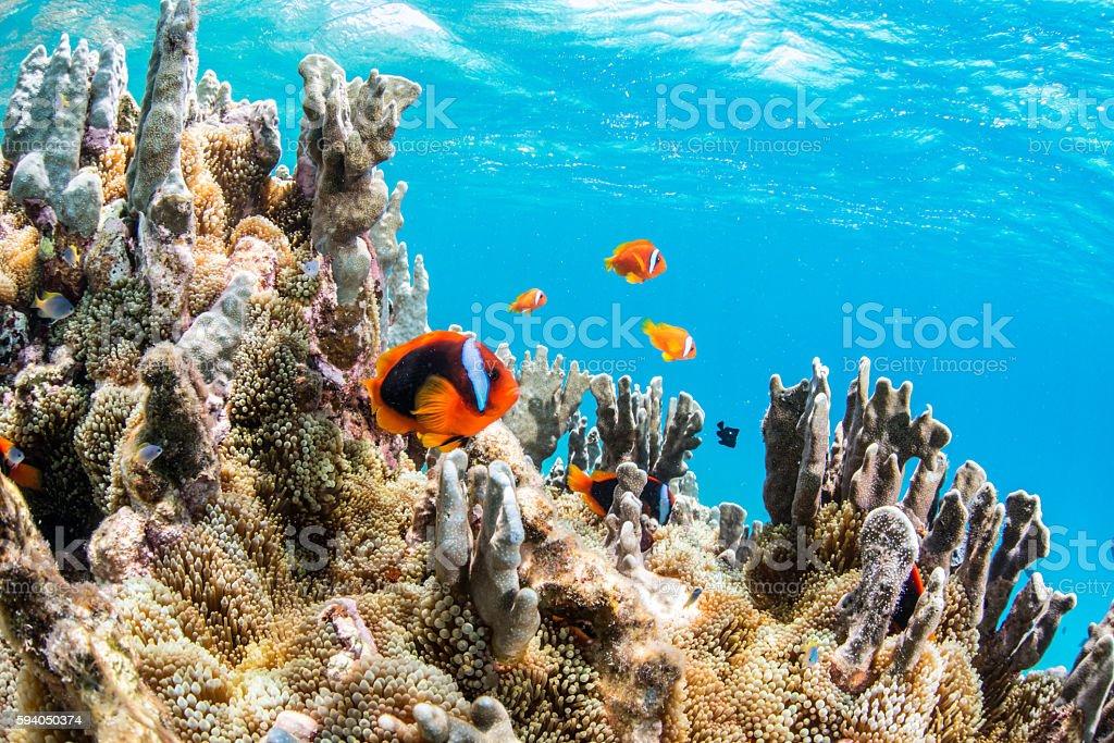 Colony of Anemonefish stock photo