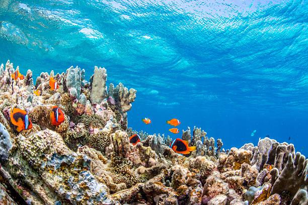 kolonią dwupręgi - tropikalna ryba zdjęcia i obrazy z banku zdjęć