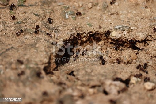 485413653istockphoto Colony of ants. A path of black ants. Ants in the sand of a private house 1202028350