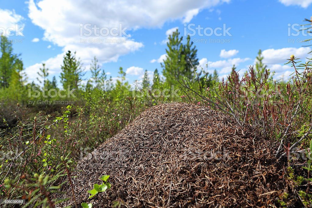 Colony of ants in the summer afternoon stock photo