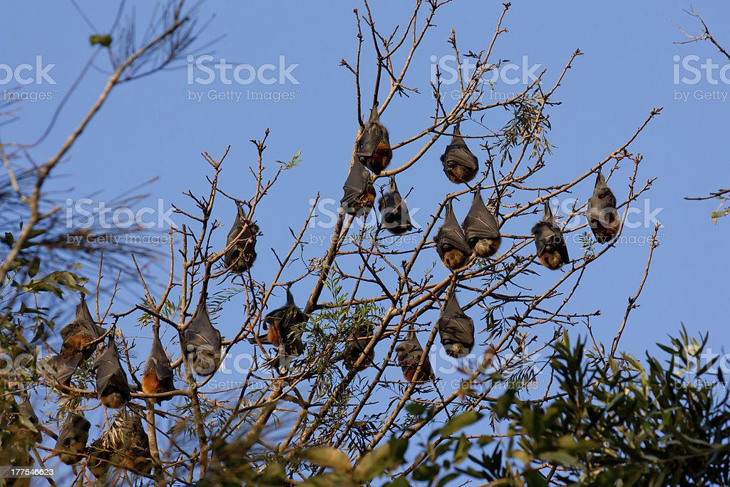 Colony of bats in tree against blue sky stock photo