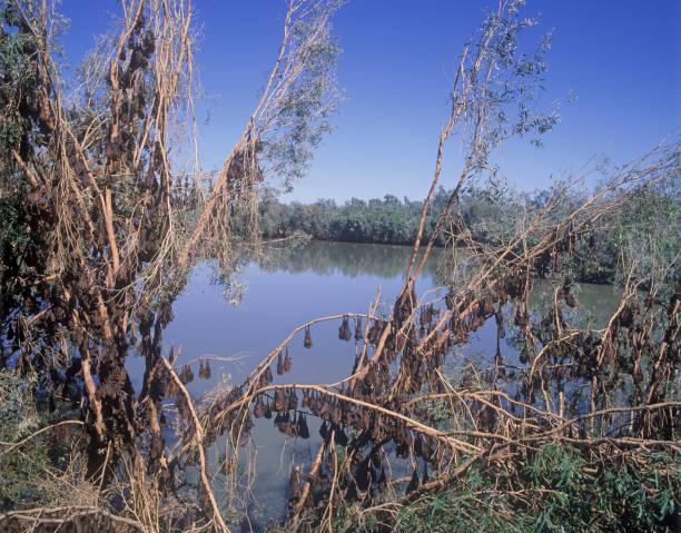 kolonie von bats - wasserfledermaus stock-fotos und bilder