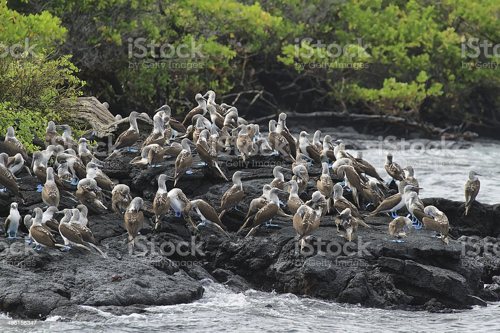 Colony of blue footed boobies royalty-free stock photo