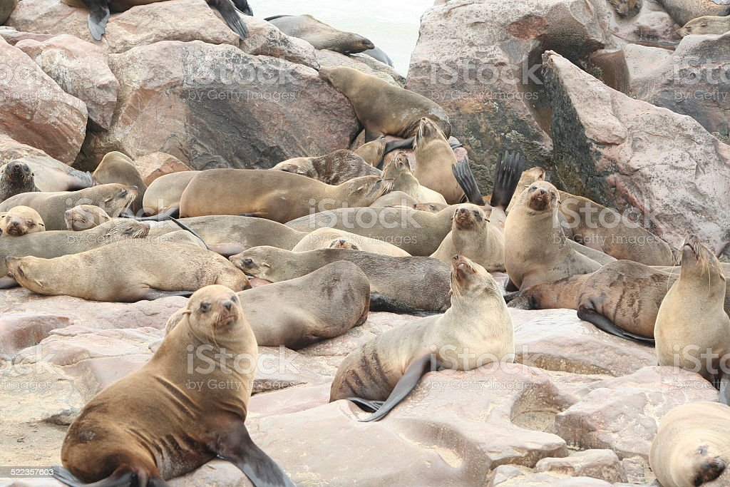Colony of Brown Fur Seals at Cape Cross, Namibia, Africa stock photo