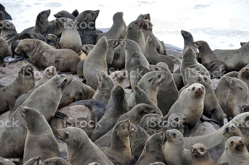Colony of Cape Fur Seals royalty-free stock photo