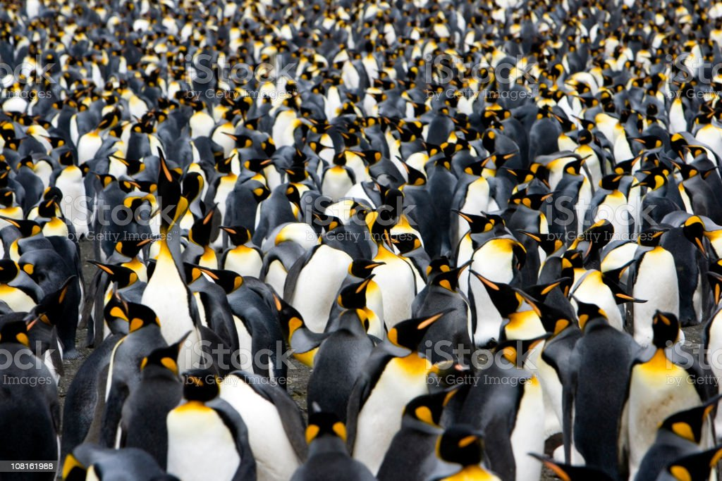 Colony of Emperor Penguins stock photo
