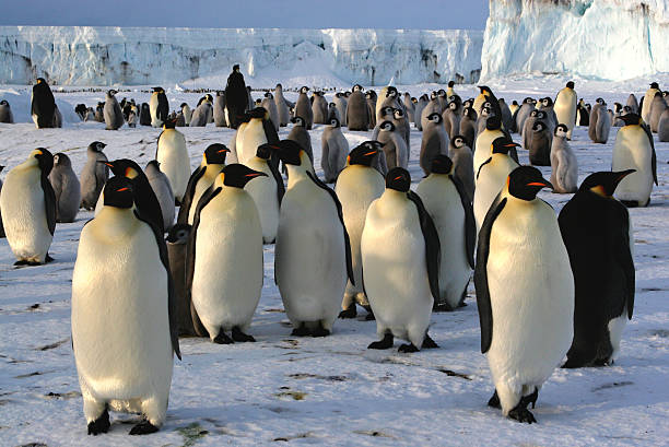 Colony of emperor penguins Colony of emperor penguins emperor penguin stock pictures, royalty-free photos & images
