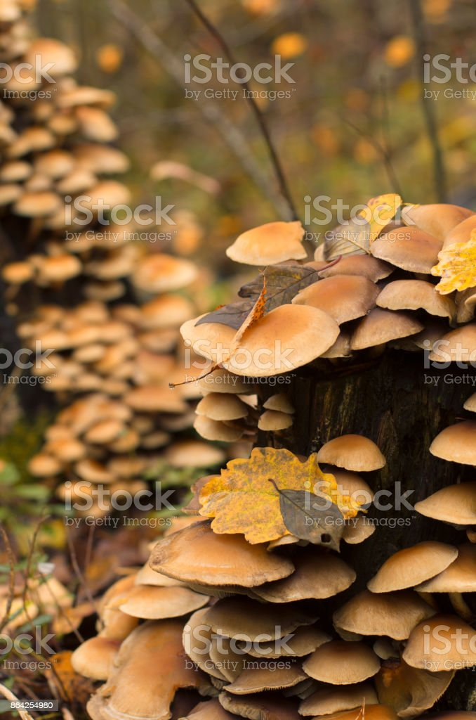 Colony of fungi on a rotten tree stump in autumn royalty-free stock photo
