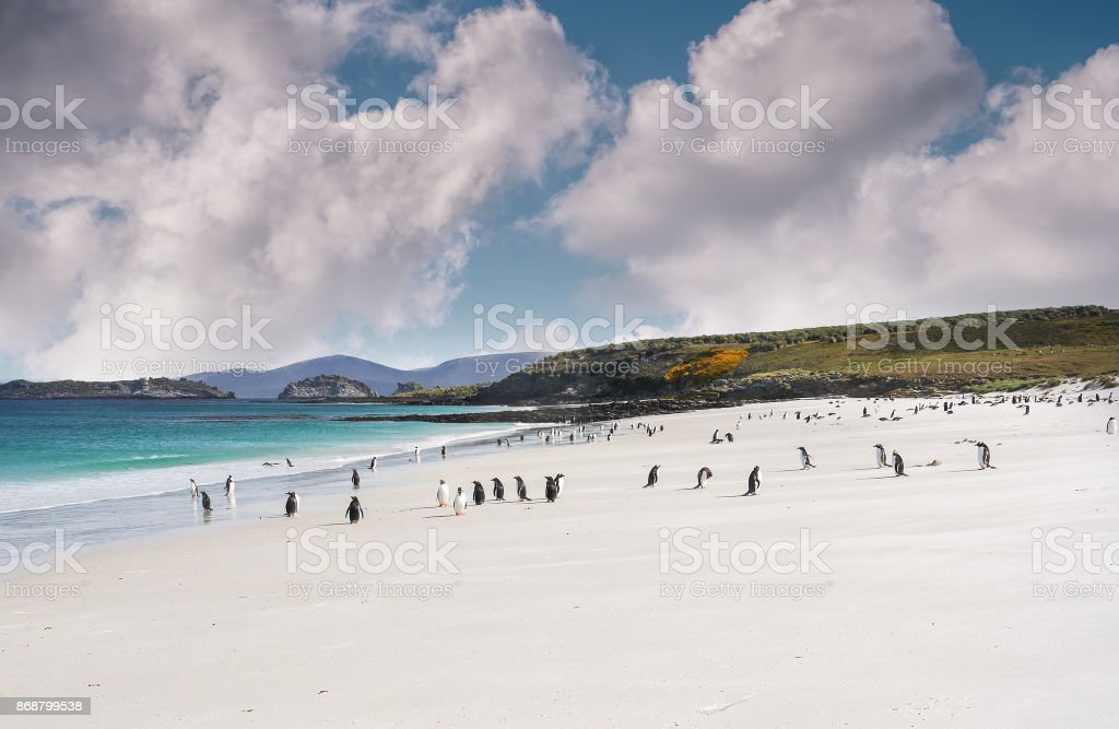 Colony of gentoo penguins playing and walking on a Falkland Islands white sandy beach with turquoise water and dramatic fluffy clouds. stock photo