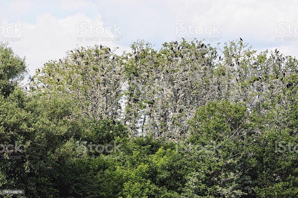 colony of Great Cormorant (Phalacrocorax carbo) in Brandenburg Germany royalty-free stock photo