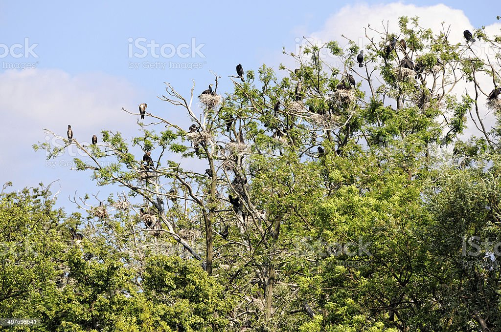 colony of Great Cormorant (Phalacrocorax carbo) in Brandenburg Germany stock photo