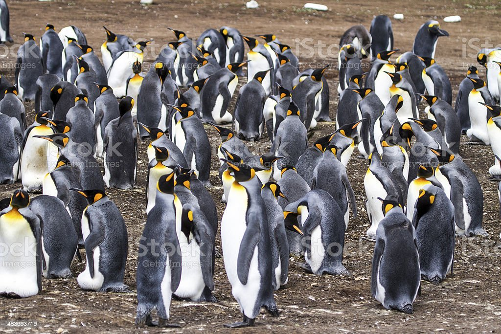 Colony of King Penguins -Falkland Islands royalty-free stock photo