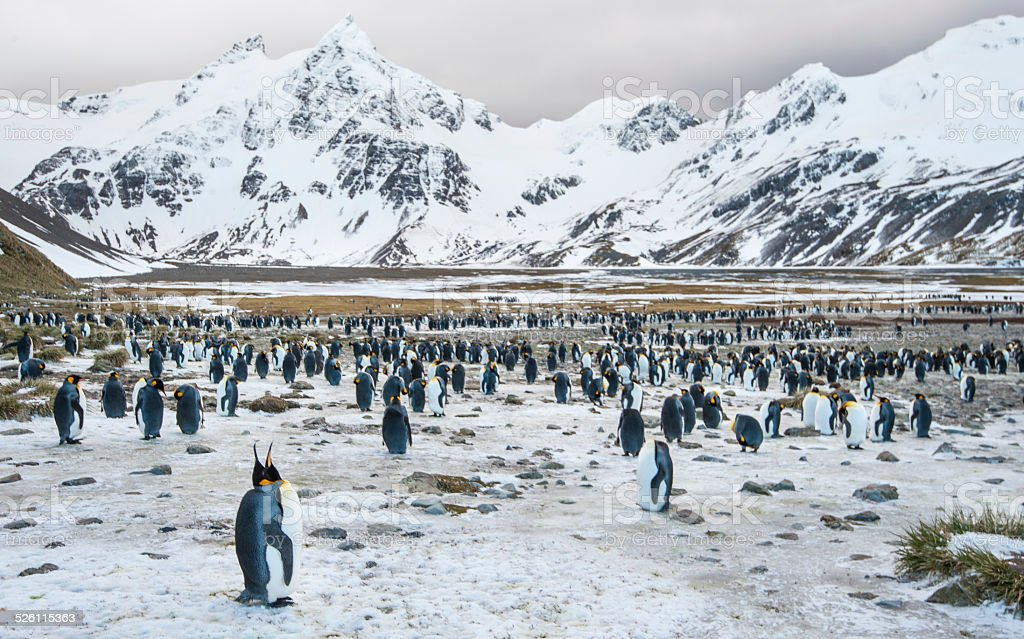 Colony of King Penguins in the snow at South Georgia stock photo