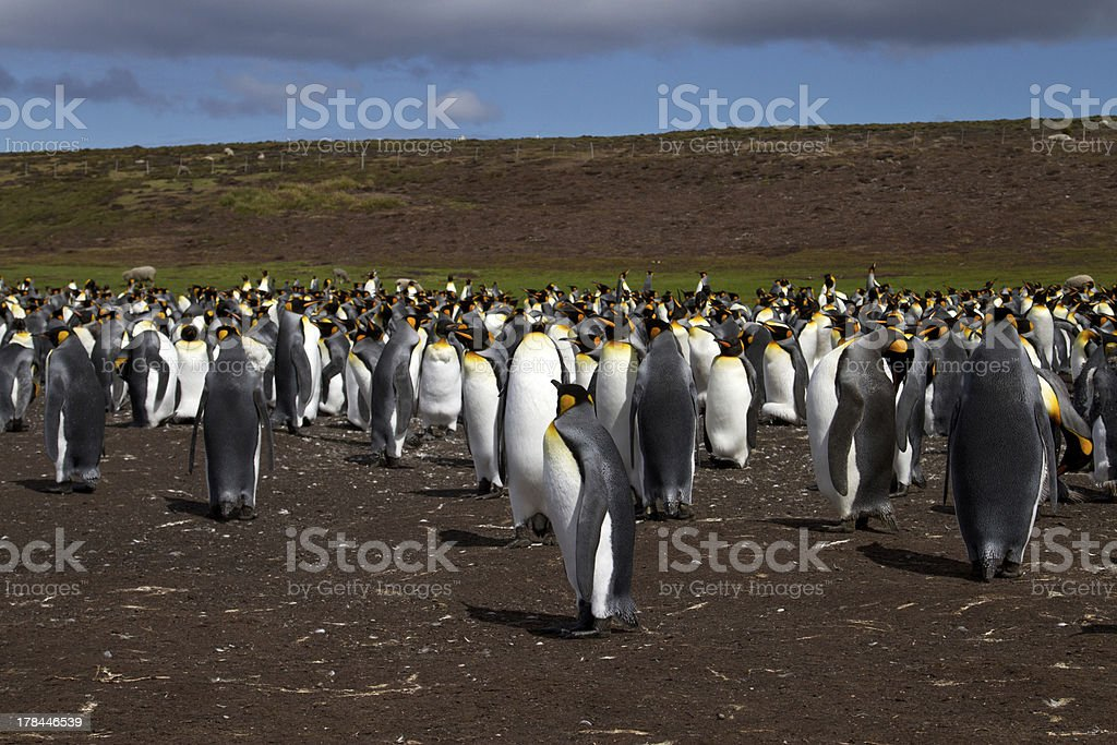 Colony of King Penguins stock photo
