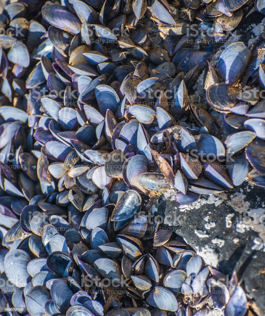 A colony of mollusks stock photo