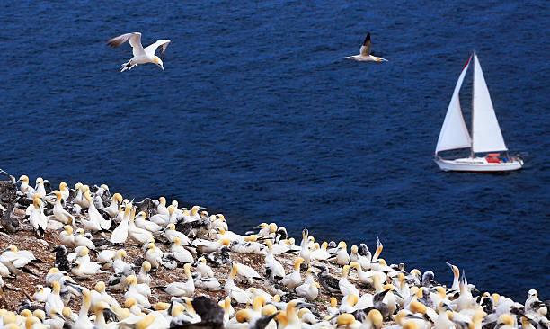 colony of northern gannets and yacht sailing, bonaventure island - northern gannet stockfoto's en -beelden