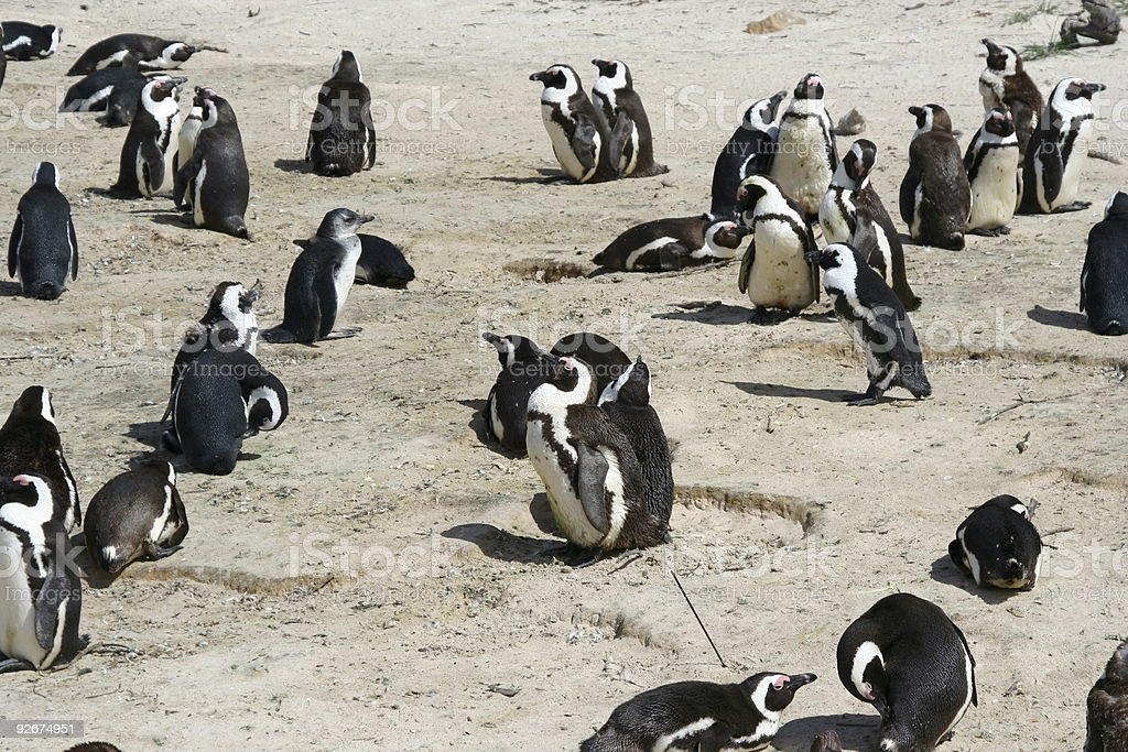 colony of penguins royalty-free stock photo