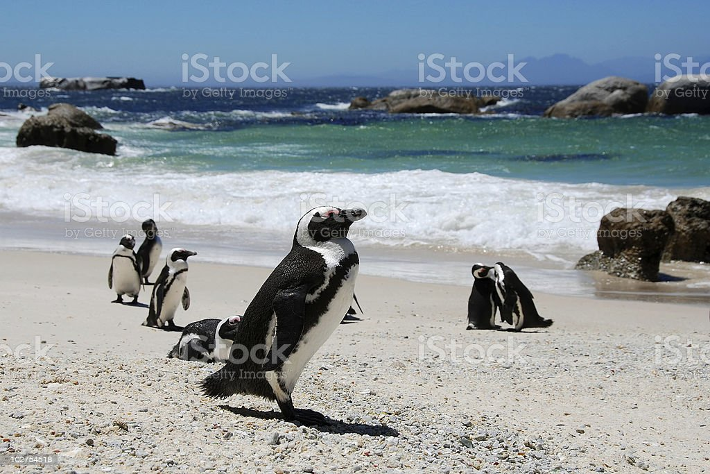 colony of penguins,South Africa stock photo