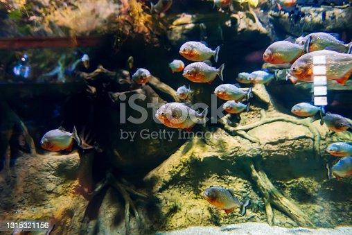 istock colony of predatory piranha fish swims underwater 1315321156