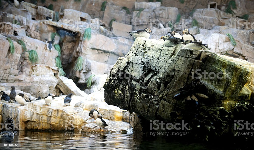 colony of puffins in zoo royalty-free stock photo