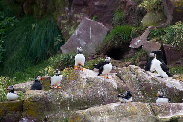 Colony of puffins on sheer cliffs stock photo