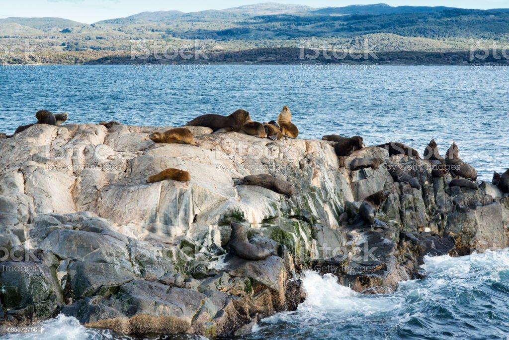 阿根廷火地島的小島上棲息的海獅群 免版稅 stock photo