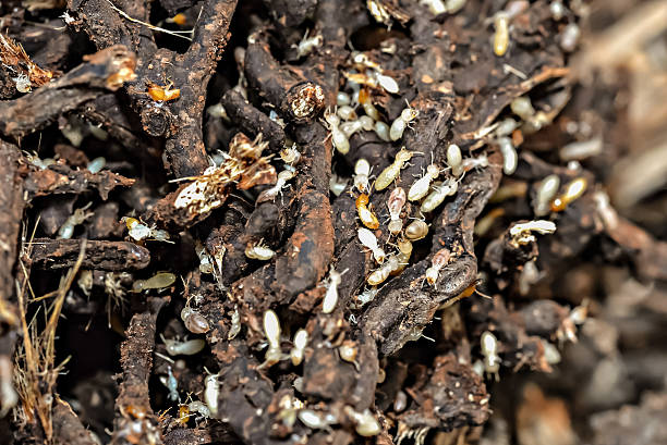 Colony of subterranean termites Colony of subterranean termites isoptera stock pictures, royalty-free photos & images