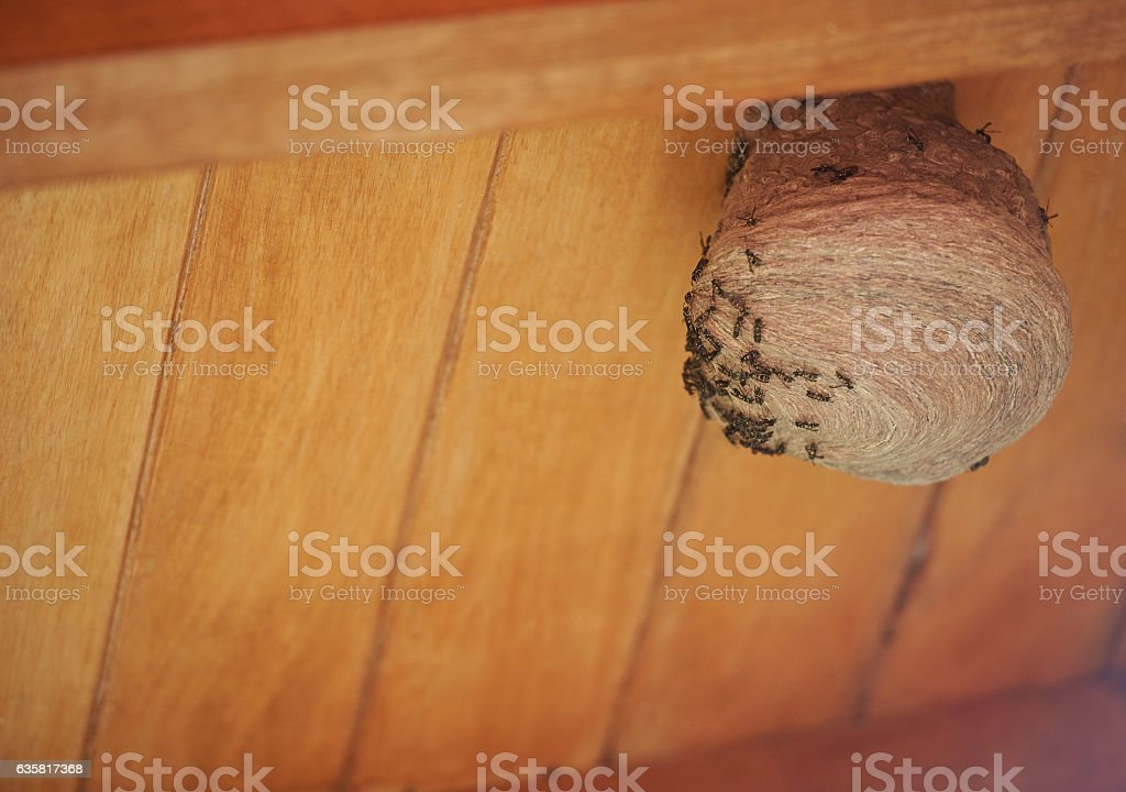 Colony of wasps building nest stock photo