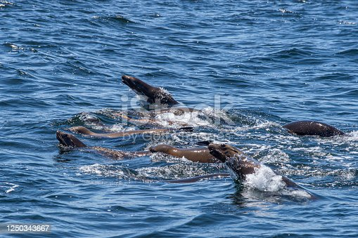 Colony of wild California sea lions (Zalophus californianus) foraging on a large school of anchovies, which also attract hungry humpback whales.  Taken at Moss Landing, California near the Elkhorn Slough National Estuarine Reserve.