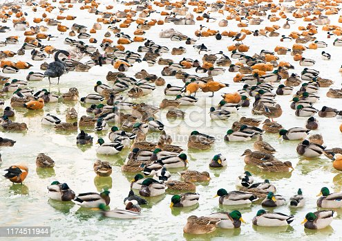 colony of wintering ducks and geese