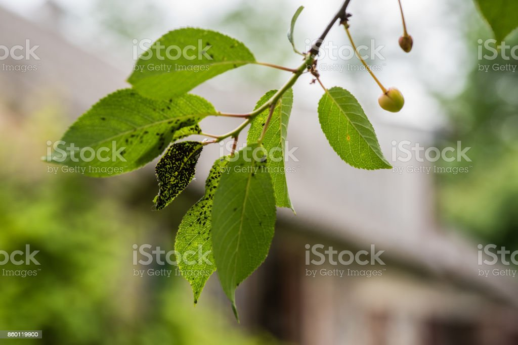 Colony on blackflies stock photo