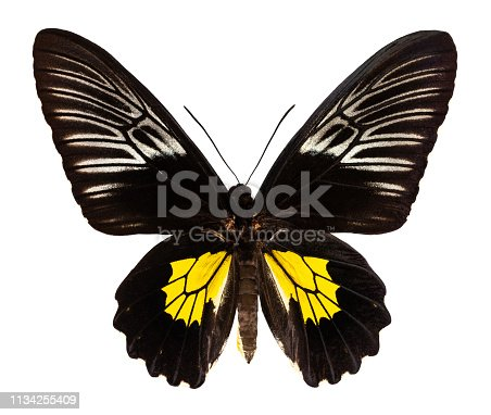 Color butterfly, isolated on white background with clipping path, troides oblongomaculatus.