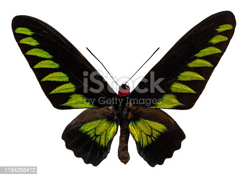 Color butterfly, isolated on white background with clipping path. Trogonoptera brookiana.