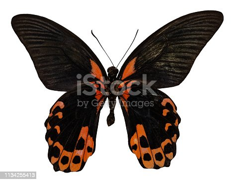 Color butterfly, isolated on white background with clipping path, papilio rumanzovia.