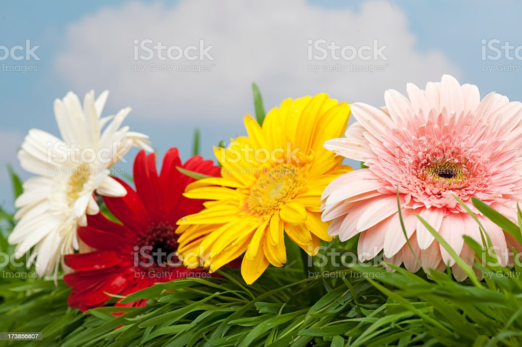 color flowers royalty-free stock photo