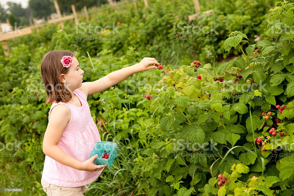Color Image of Seven Year Old Girl Picking Raspberries royalty-free stock photo
