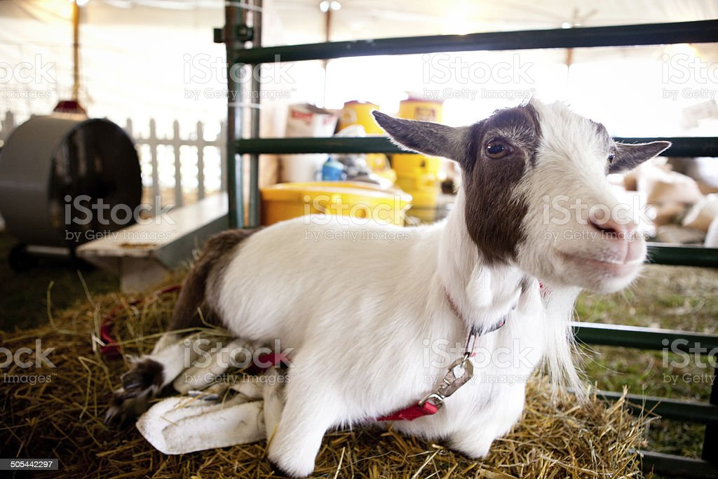 Color Image of Young Goat at Agricultural Fair royalty-free stock photo