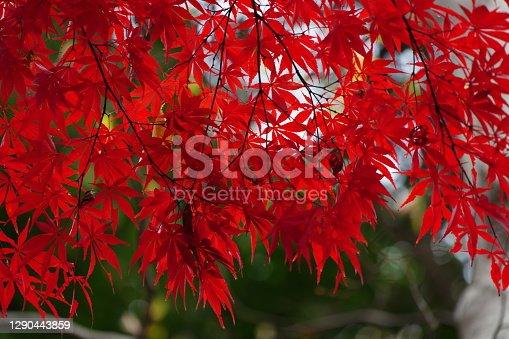 color leaves tokyo park in winter